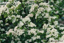 Trees With White Flowers Hawthorn Photo Crataegus Monogyna A6839 Arkive