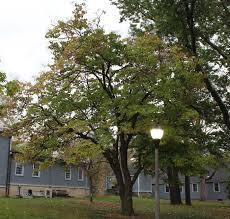 second national chion tree recognized at umass amherst office