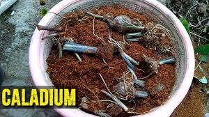 save caladium bulbs during winter caladium bulbs next summer k