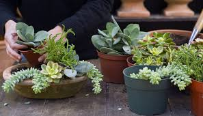 how to grow succulents indoors and outside plants gardens and cacti