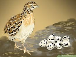 Raising Quail Backyard How To Raise Quail With Pictures Wikihow