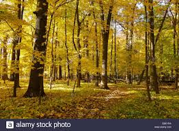 Autumn in an oak maple forest thatcher woods forest preserve
