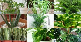 16 indoor plants that purifies air at home the healthy hack