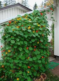 Morning Glory Climbing Plant - 10 fast climbing vines for your garden early autumn lush and plants