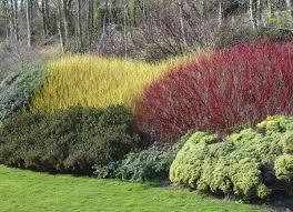 Euonymus Topiary Buy Flowering Shrubs U0026 Ornamental Shrubs Online Free Shipping