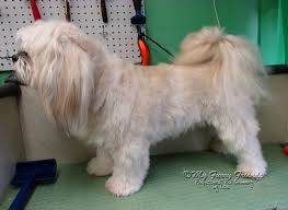 shih tzu with curly hair pet grooming the good the bad the furry monday makeover 2