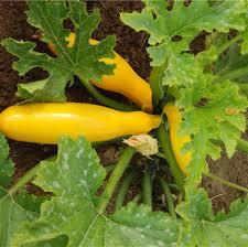 comment cuisiner les courgettes jaunes courgette jaune ou gold ab ferme de sainte marthe