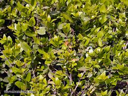 trees of the bible acacia almond carob fig myrtle terebinth