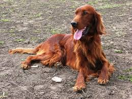 irish setter male dog names russell irish setters our males