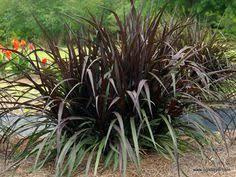 adagio grass maiden grass 3 4 x 3 4 plumes can reach 5