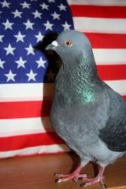 105 best pigeon stuff images on pinterest pigeon dove pigeon