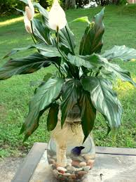 the easiest way to make a betta fish u0026 peace lily aquarium in a