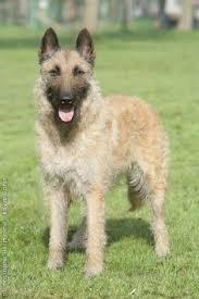 belgian shepherd temperament belgian shepard dog laekenois as well as an in bred aptitude to