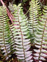 166 best ferns images on aquatic plants plants and fungi