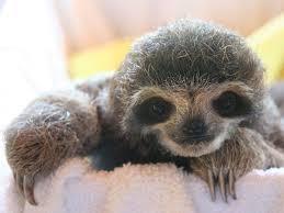 4 toed sloth the 25 best 2 toed sloth ideas on three toed sloth