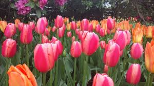 Images Of Tulip Flowers - free pictures of tulips flowers bbcpersian7 collections