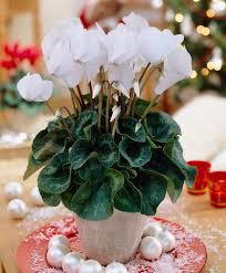 buy house plants now cyclamen bakker com
