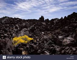 mojave desert native plants a brittlebush encelia farinosa growing on dark volcanic lava