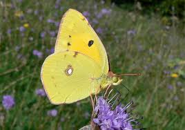 butterfly conservation clouded yellow