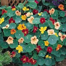 edible flowers for sale 63 best edible flower garden images on edible