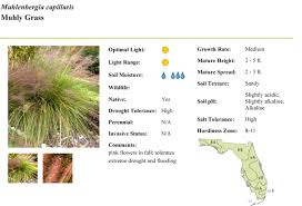 native florida plants low maintenance muhly grass florida native plants archinology
