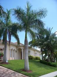 popular palm trees found in florida palm tree dr