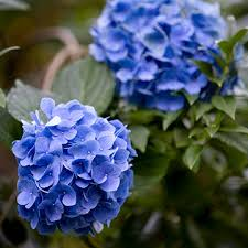 the best flowers for wet soil hydrangea plants and perennials