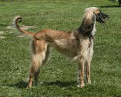 afghan hound urban dictionary stephen bodio u0027s querencia august 2007