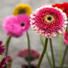 gerbera colors all about gerbera holex flower