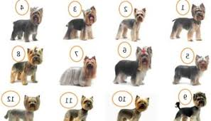 yorkie haircuts pictures only yorkies haircut fade haircut