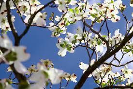 dogwood flowers flowering dogwood state symbols usa