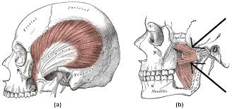 Anatomy Of A Cats Eye Head And Neck Muscles Boundless Anatomy And Physiology