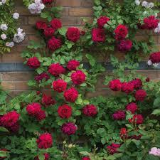 tess of the d u0027urbervilles u0027 climbing rose from david austin roses