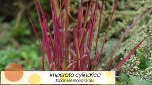 ornamental grasses featuring japanese blood grass