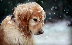 dog wallpapers free dog wallpaper high quality long wallpapers