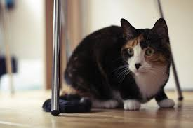 Cat Under Chair Essential Tips For Moving To A New House With Cats Sans Trouble