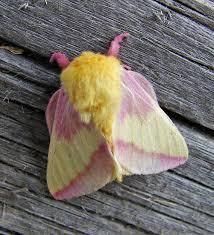 rosy maple moth dryocampa rubicunda a north american moth of