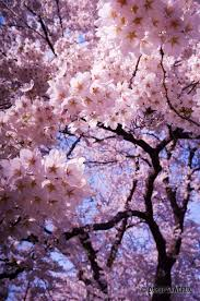 cherry tree flowers pictures phenology in lake placid image mba
