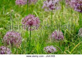 ornamental alliums allieae growing in grass in late
