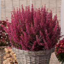 canula fiore fiore canula viola 12 images petunia domande e risposte fiori