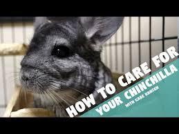 How To Care For Your by How To Care For Your Chinchilla Youtube