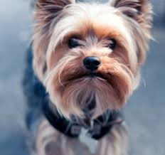 yorkie haircuts for a silky coat the yorkie and it s hair with its long silky hair the yorkshire