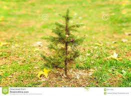 small pine tree alone in field stock photo image 62112592