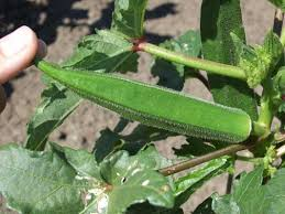 Okra Plant Diseases - okra horticulture and home pest news