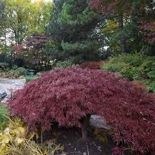japanese maple trees for sale nature nursery
