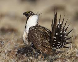 Rational K Hen Greater Sage Grouse Wikipedia