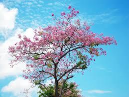 cherry blossom tree 32 hd wallpaper wallpaper photoshop