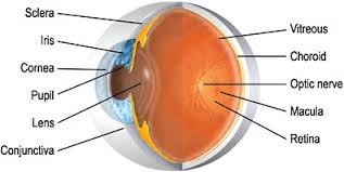 Anatomy Of The Eye Eye Anatomy Eye Pain Treatment Sydney Eye Surgery Newtown Nsw