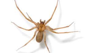 how to identify poisonous spiders wilderness awareness