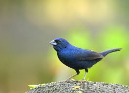 the jacarina finch a blue black for the small bird enthusiast